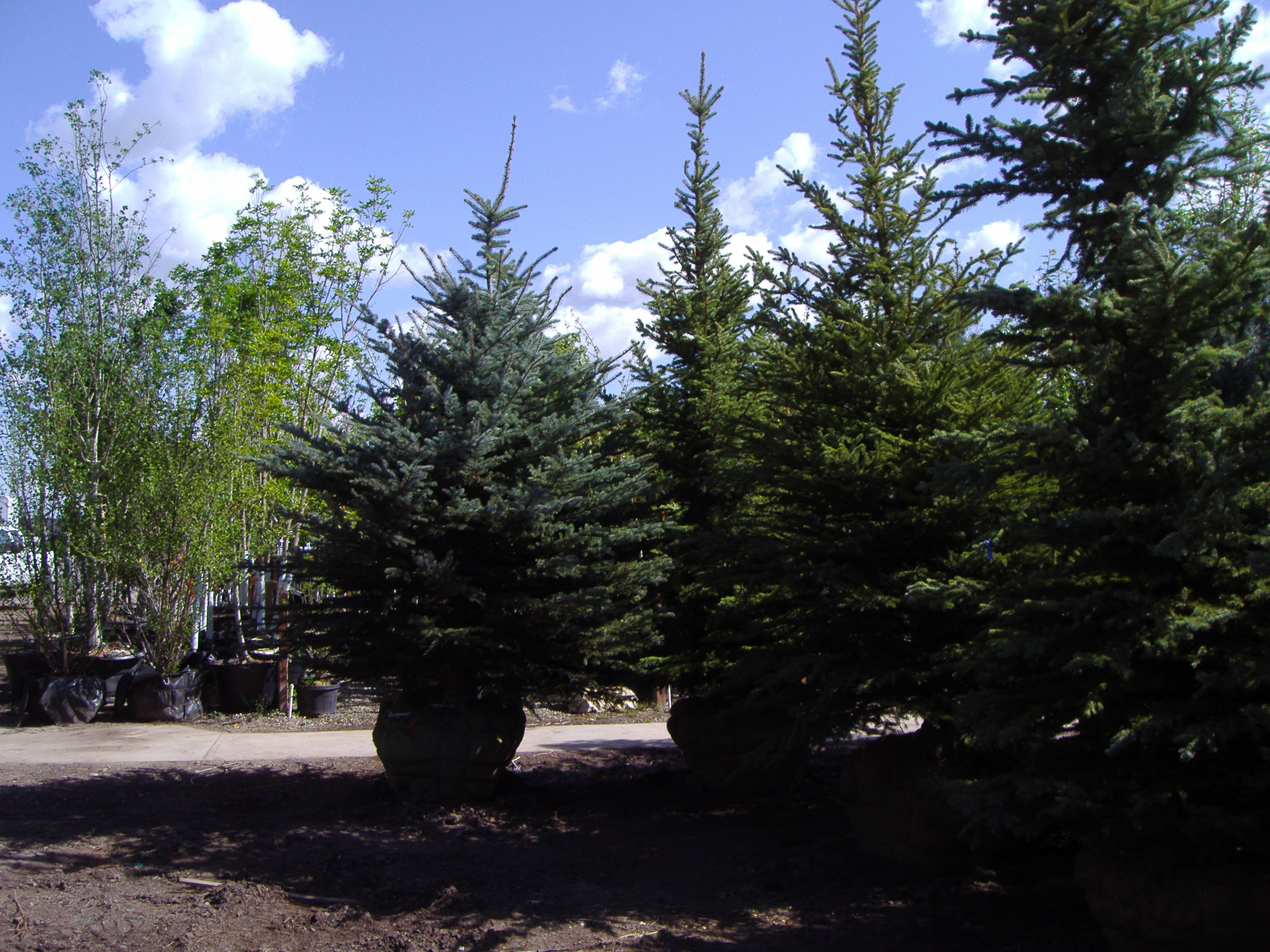 Tree Selection Chris Jensen Landscaping In Salt Lake