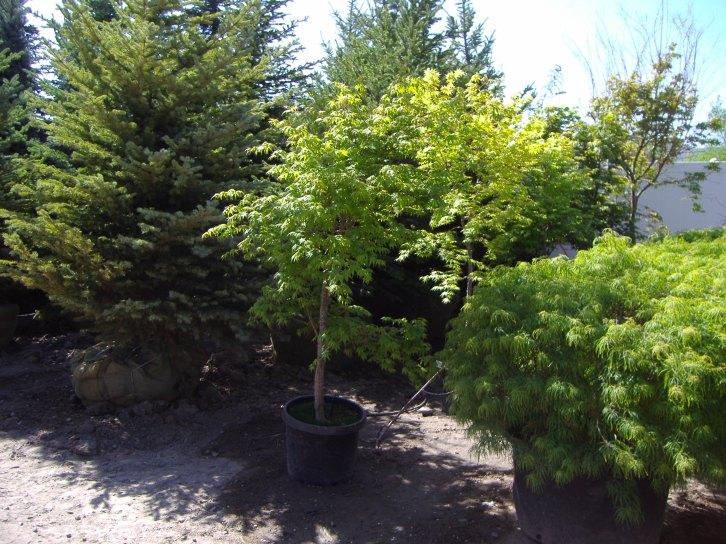 green laceleaf japanese maple | Chris Jensen Landscaping ...