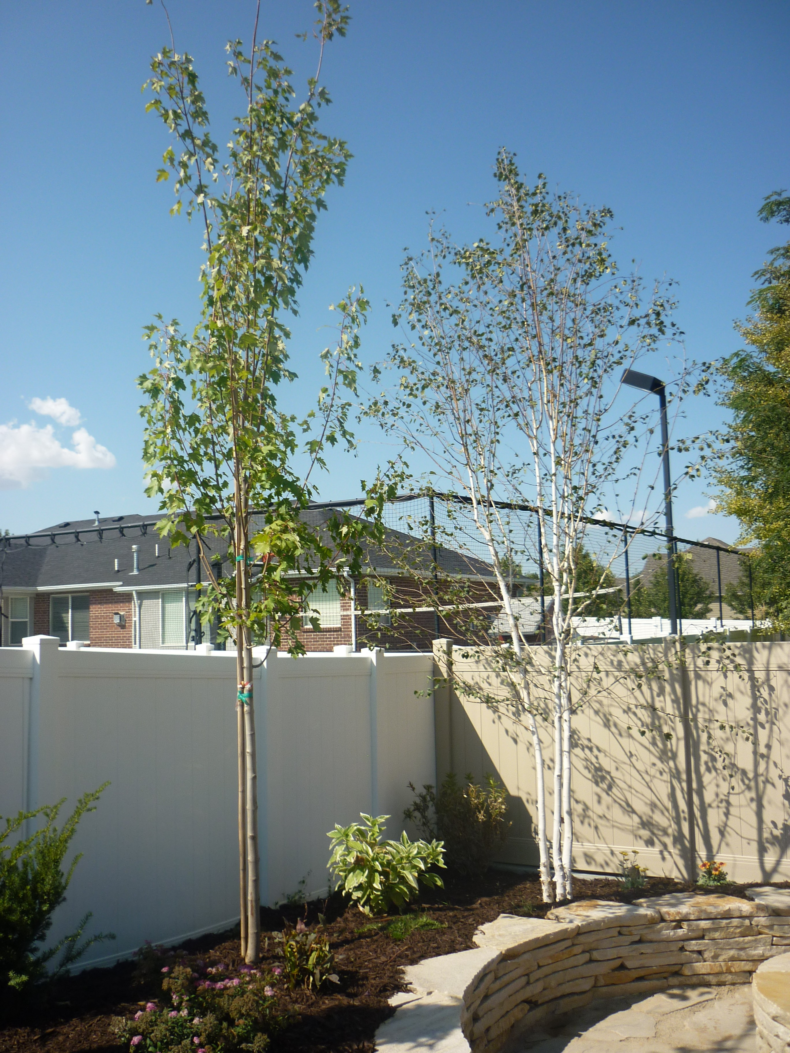 Armstrong Maple For Utah S Climate Chris Jensen Landscaping In Salt Lake City And Utah County