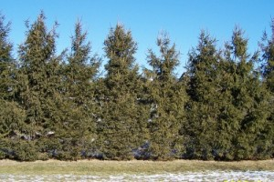 Evergreen trees planted too close