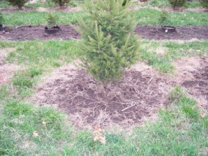 The proper way to install a tree in the grass after it has been planted.