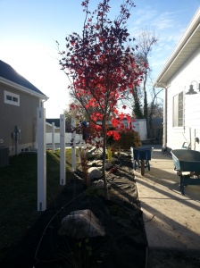 Japanese maple blood good