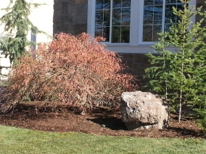 Very expensive lace leaf Japanese maple
